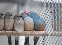求愛ダンスを見せびらかす小鳥のカップルたち