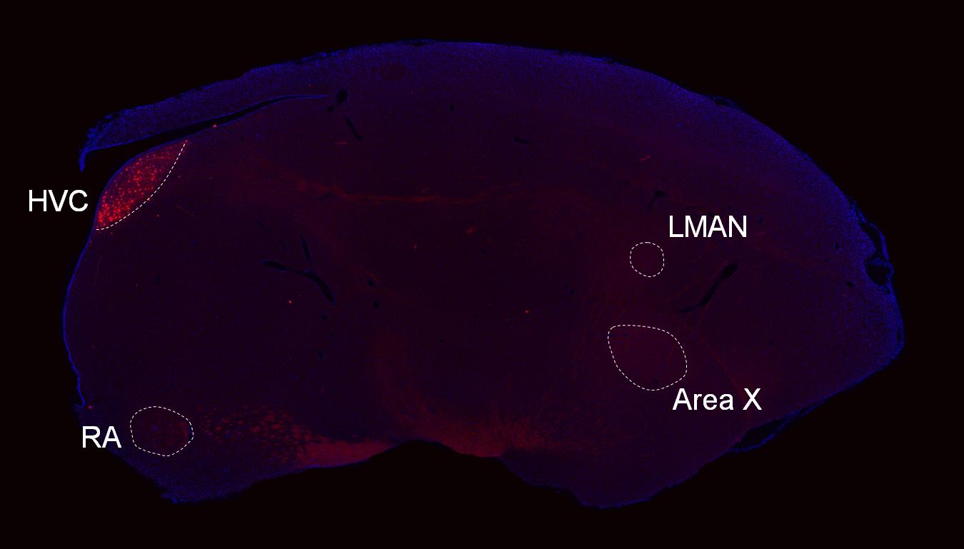 大脳皮質 -基底核投射神経 細胞 は幼弱期の発声学習に必要