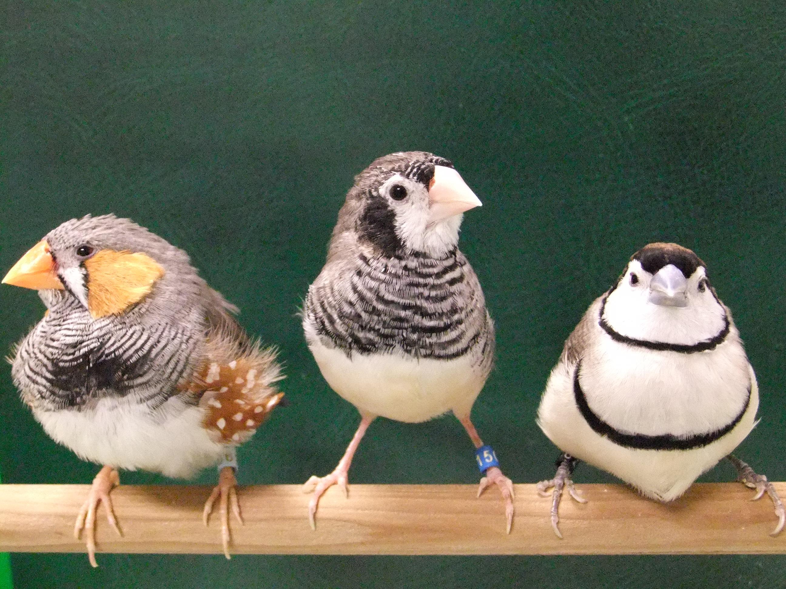 小鳥の種によって歌が異なる原因に関わる遺伝子群を同定
