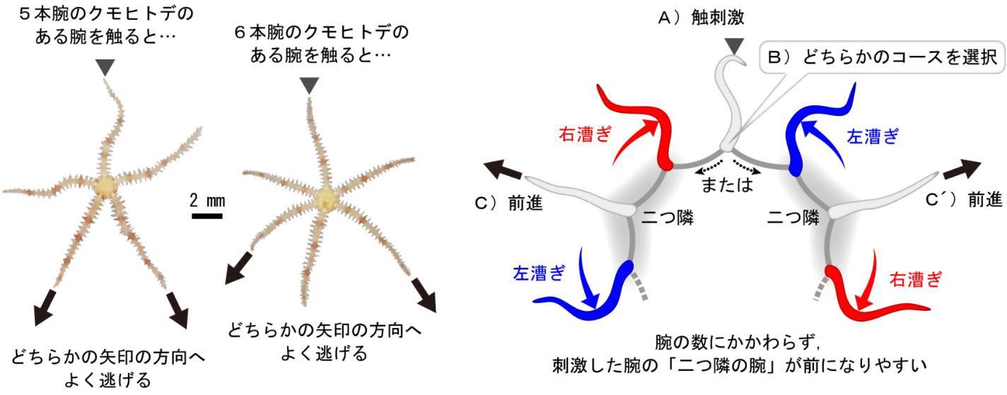 クモヒトデは触られた腕の二つ隣の腕の方向へ逃げる~腕の数の個体差から学ぶ,放射相称の歩き方~