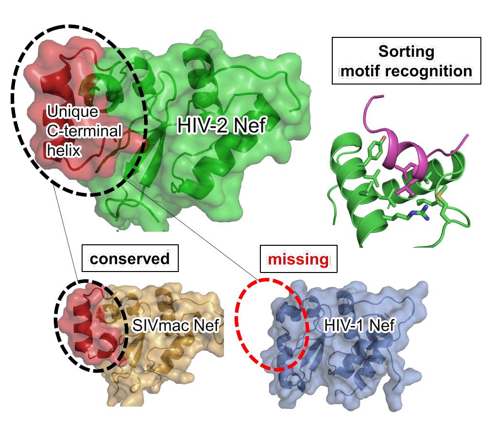 HIV-2のエイズ発症遅延のメカニズムを解明~2型ヒト免疫不全ウイルス(HIV-2)のNefタンパク質構造からエイズ発症機序を探る~