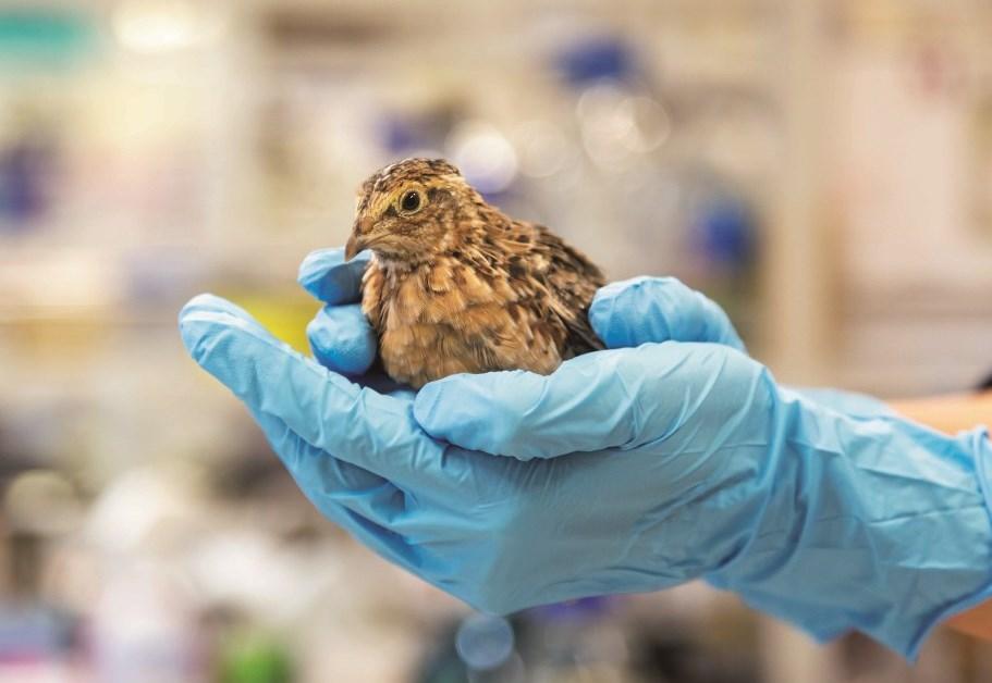 鳥類の性分化に働く遺伝子共通パターンを発見 ~ニホンウズラが性分化研究に有用であることを証明~