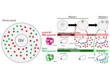 細胞質の顆粒状構造が減数分裂の進行を制御