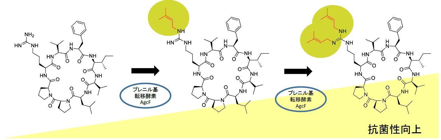 環状ペプチドの抗菌性を高める新規酵素を発見~中分子ペプチド医薬品創製への貢献に期待~