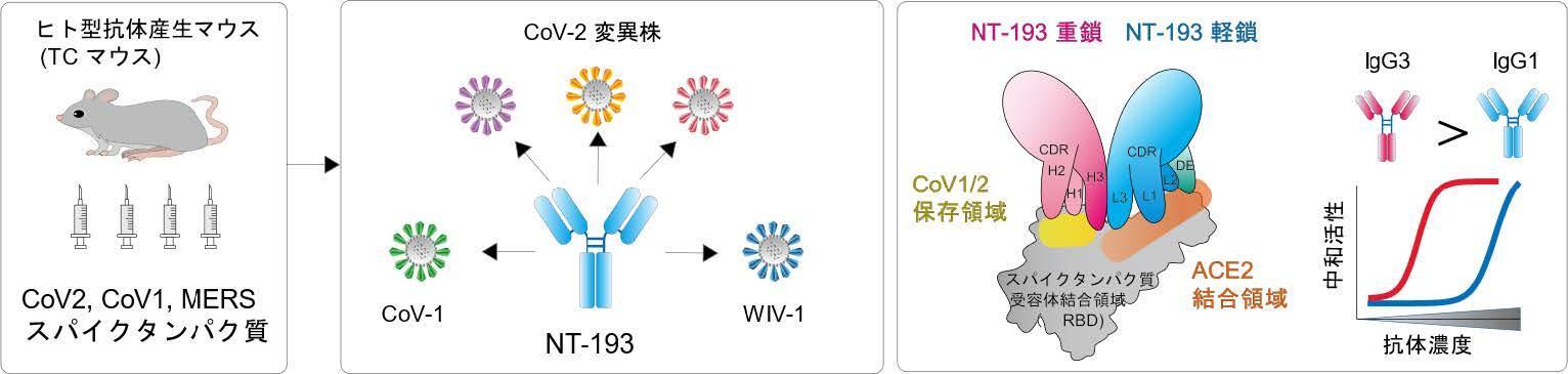 新型コロナウイルス変異株やSARSウイルスに有効な新規抗体の作出に成功,新規抗体医薬品の開発に期待