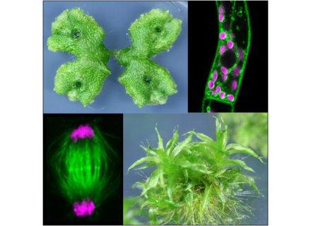 コケ植物を用いた進化発生細胞生物学研究に関する総説論文を発表